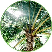 Ansicht sonnendurchfluteter Kokospalmenkrone mit grünen Kokosnüssen von unten