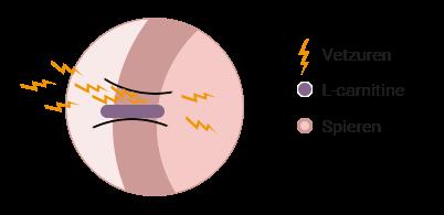Grafiek werkingswijze L-carnitine