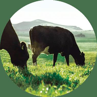100% pasture-raised milk.