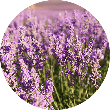 Lavender in the fields