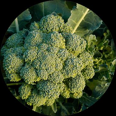 Broccoli for natural daily vitamins