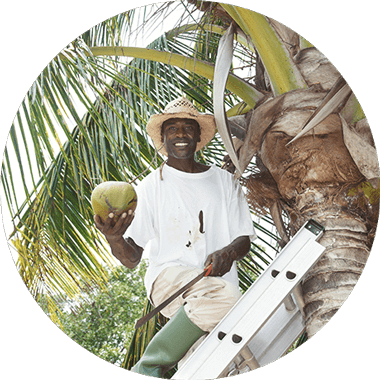 Man on a ladder on the coconut tree with freshly picked coconut in hand