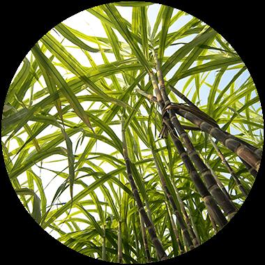 Raw sugar cane plant