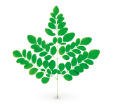 Abbildung Moringa