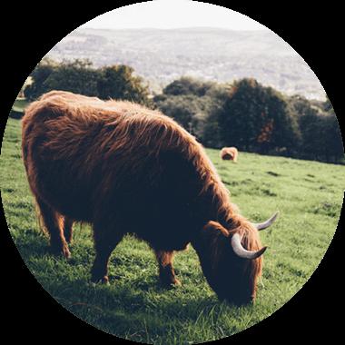 Vache dans un pré, avec d'autres vaches en arrière-plan